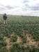 10_irrigated-wheat-south-of-wiggins-65-bu