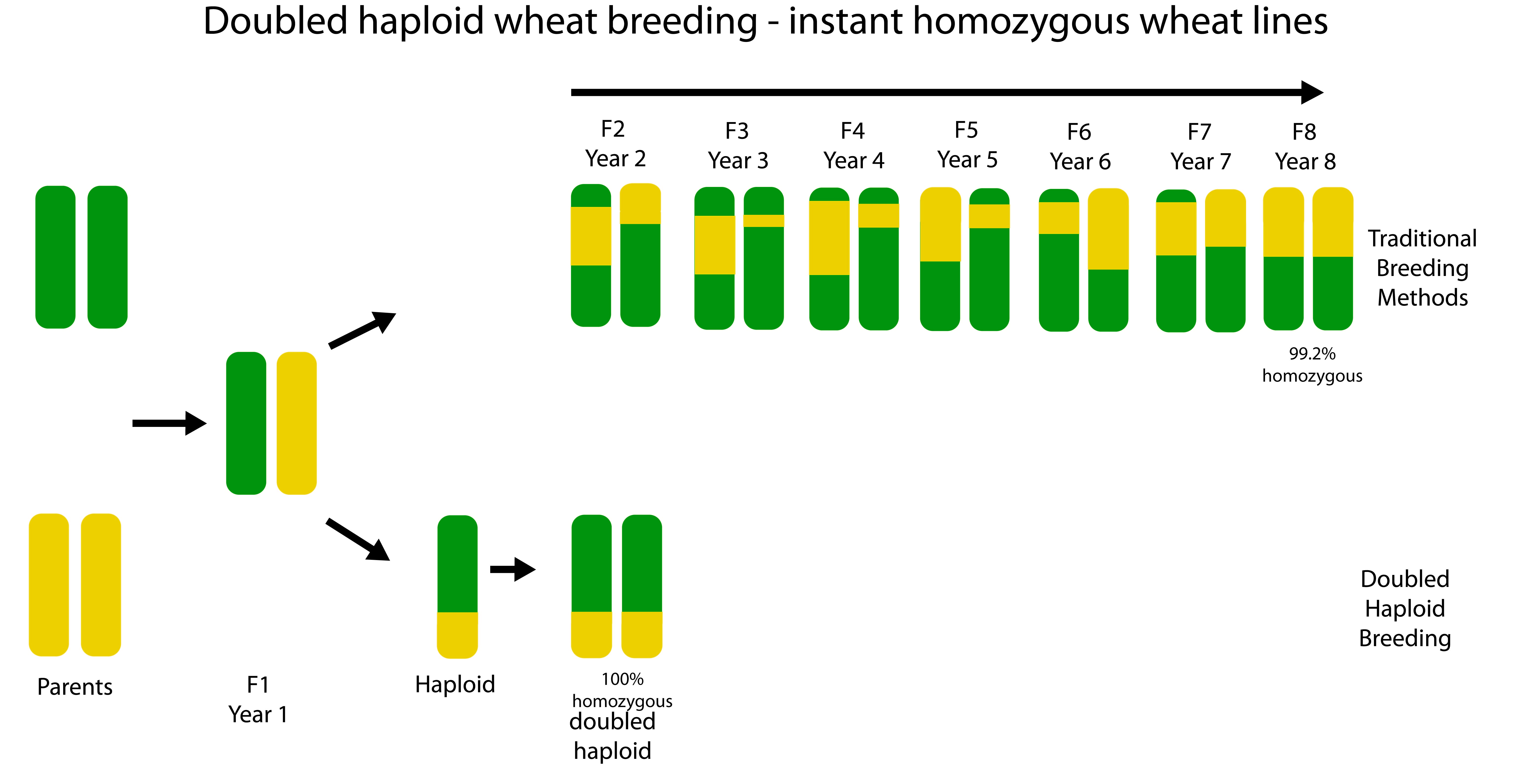 Doubled Haploid Wheat Breeding Accelerates Process Advances Promising Lines on Number Line Graphic