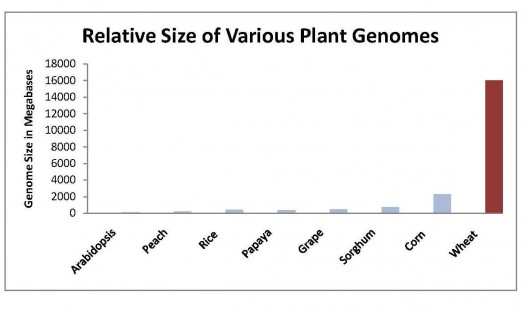 This graph shows the size of the wheat genome relative to the size of several plants whose genomes have already been sequenced or are currently being sequenced. Graph courtesy of James Schnable, PhD. candidate in Plant Biology, University of California/Berkeley, www.jamesandthegiantcorn.com.