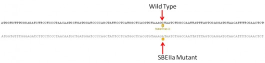 DNA sequence showing a mutation that causes a higher level in amylose, which is similar to fiber with regards to beneficial effects on human health. This sequence-based analysis of single base mutations is the same concept CSU is using to look for other types of mutations, including increased drought, insect and herbicide resistance.