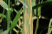 Stripe_rust_on_wheat